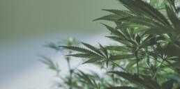 Indoor marijuana plants and leaves