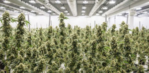 cannabis-business-times